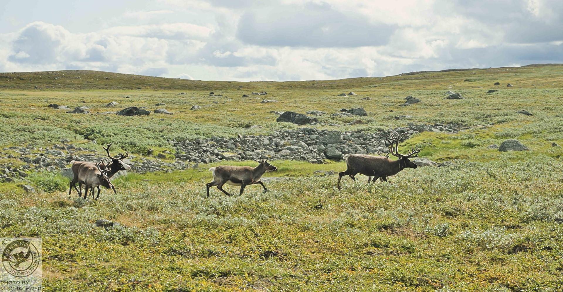 fernwind schweden sarek scouting trekking expedition Rentiere