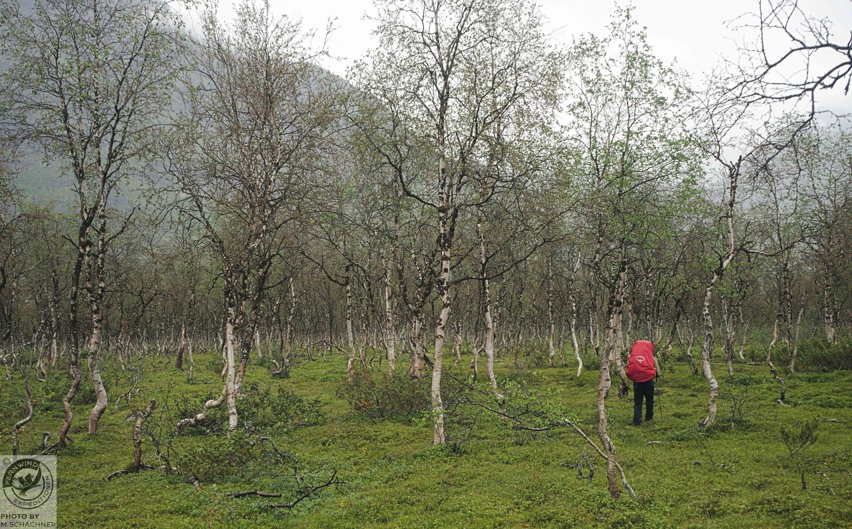 fernwind schweden sarek scouting trekking expedition Birkenwald