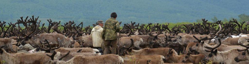 Zwei Ewenen inmitten einer Rentierherde auf Kamtschatka