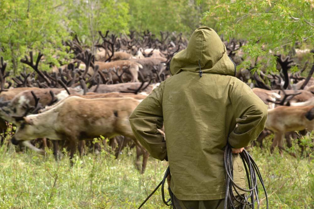 Ein Mensch beobachtet eine Rentierherde auf Kamtschatka