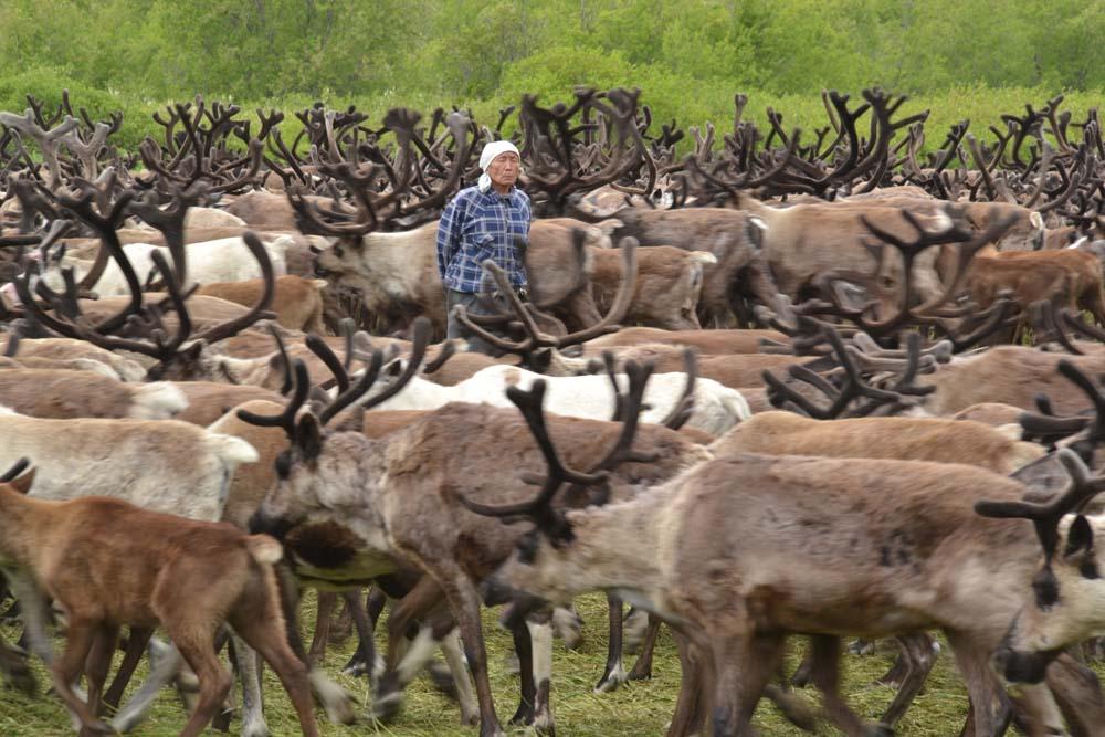 Ein Mensch inmitten einer Rentierherde auf Kamtschatka