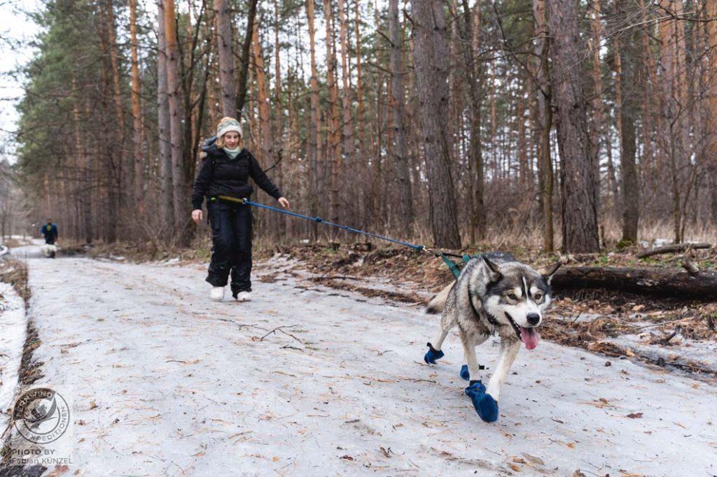 Dogtrekking mit wenig Schnee in Russland